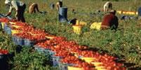 Kämpfe selbstorganisierter Erntearbeiter*innen in Italien