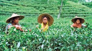 Teepflückerinnen in Kerala - ihr Streik gewinnt historische Dimensionen