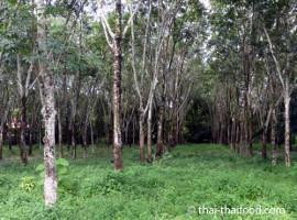 Eine der vielen Kautschukplantagen in Thailand - die ArbeiterInnen zumeist aus Kambodscha...